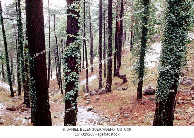 Pine forest (Pinus sylvestris) in Penyagolosa. Castellon province. Comunidad Valenciana. Spain