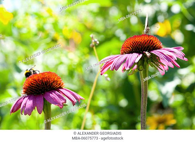 purple coneflower with a bee