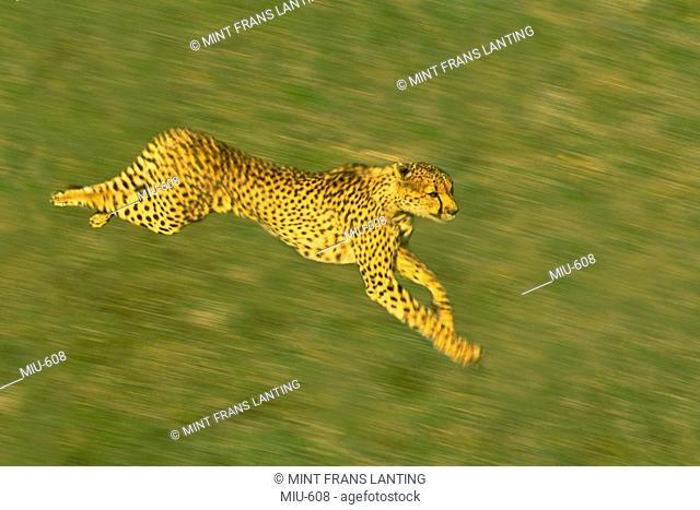 Cheetah running, Acinonyx jubatus, Kenya