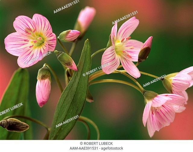 Spring Beauty Blossoms (Claytonia virginica), Adirondack Mts., NY, Fuji