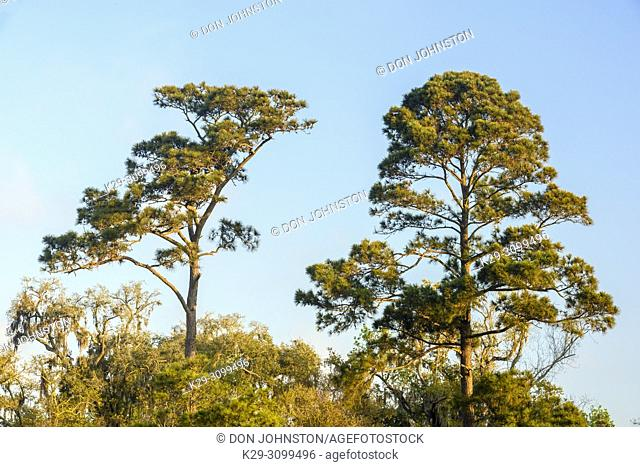 Loblolly pines (Pinus taeda), Fontainebleau State Park, Louisiana, USA