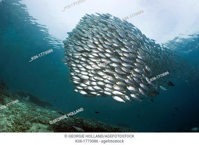 Bigeye scad Selar crunenophthalmus school over coral reef  Misool, Raja Empat, West Papua, Indonesia