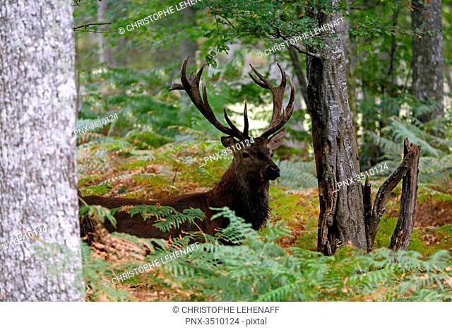 France, Burgundy, Yonne. Area of Saint Fargeau and Boutissaint. Slab season. Stag hidden in the undergrowth