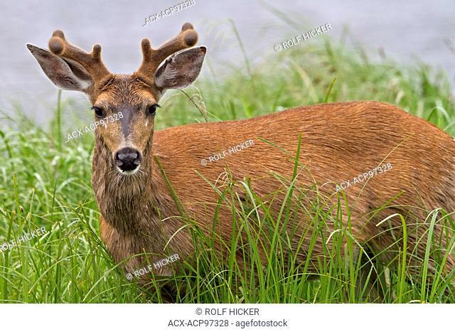 Portrait of a coastal male Sitka black-tailed deer (Odocoileus hemionus sitkensis) along the British Columbia Mainland coast, Canada