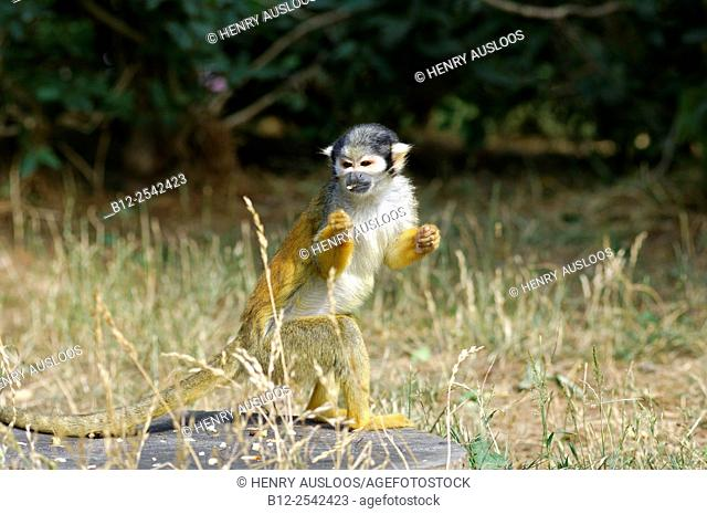 Common Squirrel Monkey Saimiri sciureus Southernh America