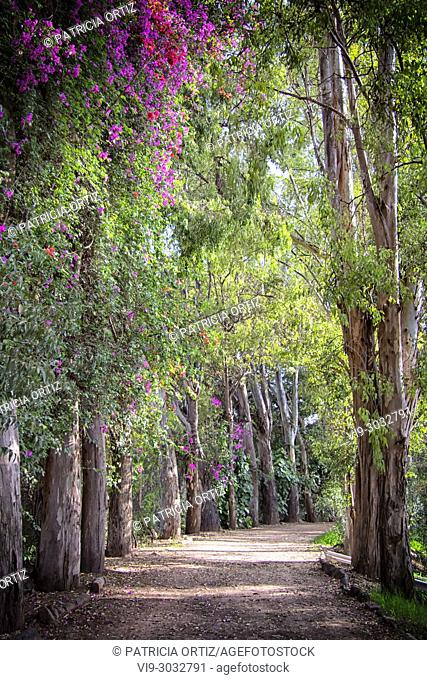 Tree Path, in Galindo, Querétaro, MEXICO