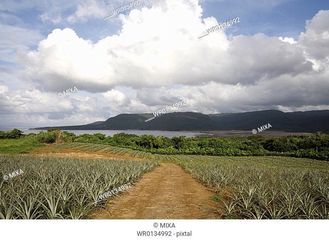 Pineapple farm