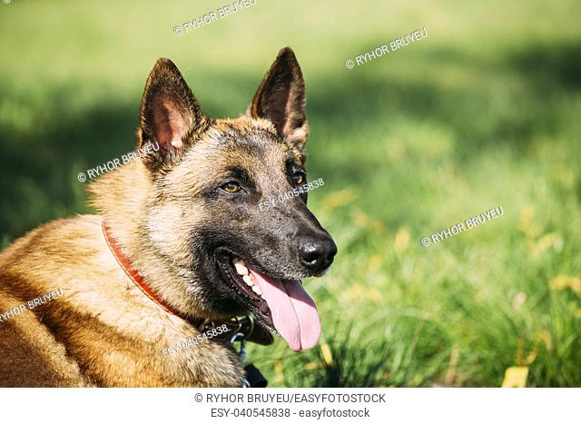 Malinois Dog Sit Outdoors In Green Summer Grass. Well-raised and trained Belgian Malinois are usually active, intelligent, friendly, protective