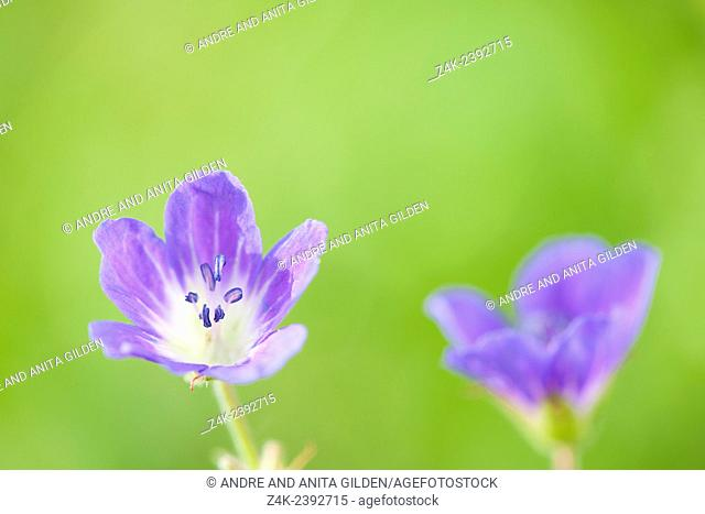 Wild geranium (Geranium maculatum) close up with shallow depth of field, French Alps