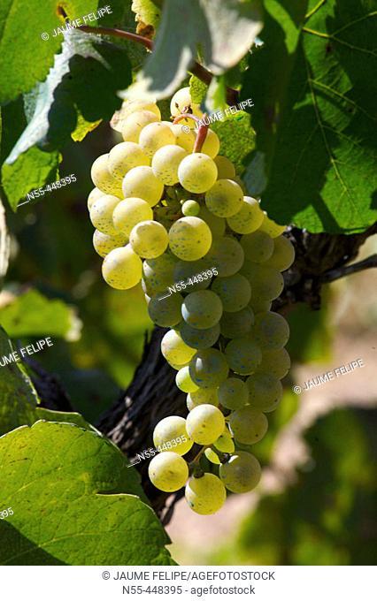 White grapes (Vitis vinifera). La Múnia, Alt Penedès. Barcelona province, Catalonia, Spain