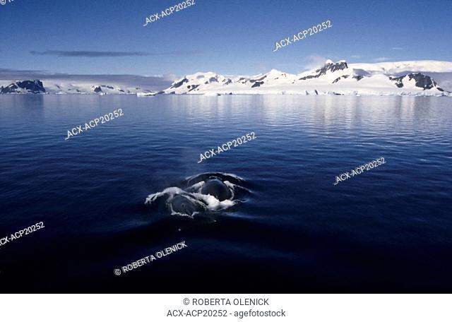 Humpback whales Megaptera novaeangliae cow and calf, Gerlache Strait, Antarctica