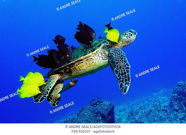 Green sea turtle, Chelonia mydas, gets cleaned by yellow tangs, Zebrasoma flavescens and lined bristletooth, Ctenochaetus striatus, Kailua-Kona, Hawaii, (N
