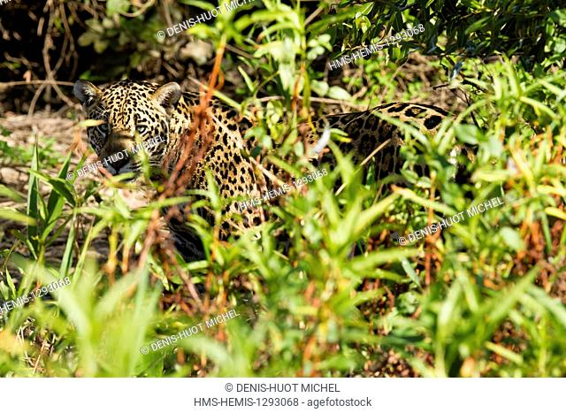 Brazil, Mato Grosso, Pantanal area, listed as World Heritage by UNESCO, jaguar (Panthera onca)