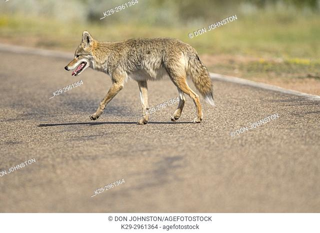 Coyote (Canis latrans) crossing park road, Theodore Roosevelt NP (South Unit), North Dakota, USA