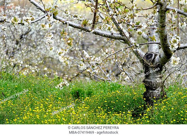 Flowering of cherry trees in early spring in the Valle del Jerte in the province of Caceres in the Autonomous Community of Extremadura in Spain