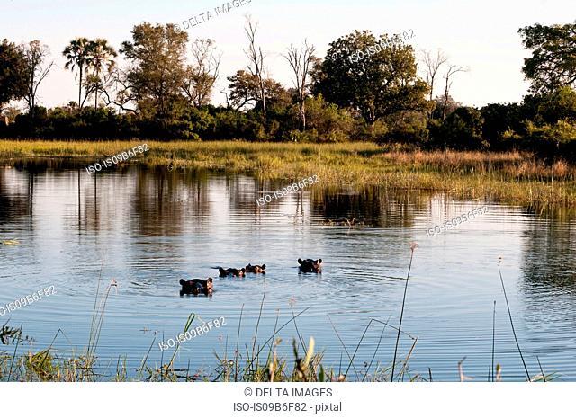 Hippopotamuses (Hippopotamus amphibius) submerged in water, Okavango Delta, Botswana