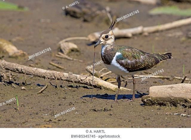 northern lapwing (Vanellus vanellus), pulling a worm out of the mud, Germany, Bavaria, Lake Chiemsee