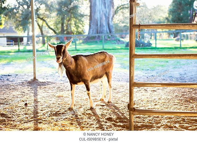 Goat in farm enclosure