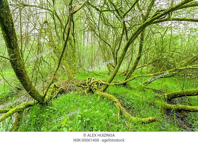 Curved tree trunks of Alder (Alnus glutinosa) swamp forest, The Netherlands, Overijssel, Voltherbroek