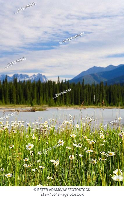 Wild Daisy's (Bellis perennis) & The Rockies, Kootenay National Park, British Colombia, Canada