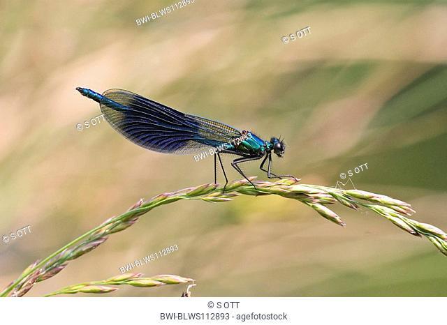 banded blackwings, banded agrion, banded demoiselle Calopteryx splendens, Agrion splendens, sitting on blade of grass