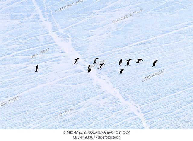 Adélie penguins Pygoscelis adeliae hauled out onto the ice near Adelaide Island, Antarctica  MORE INFO The Adélie penguin is one of the southernmost breeding...