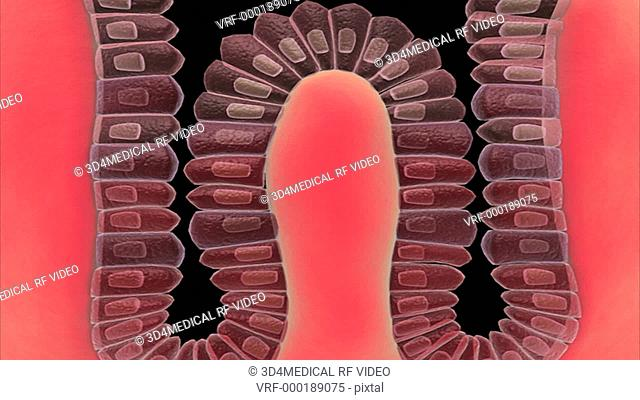 Microscopic animation of a gastric gland showing the parietal and chief cells