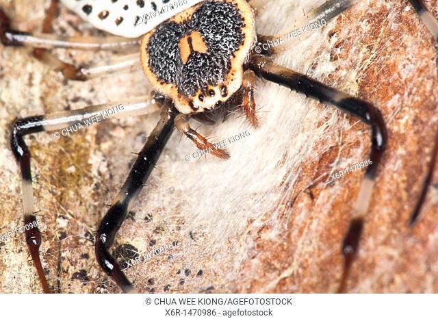 Herennia spider