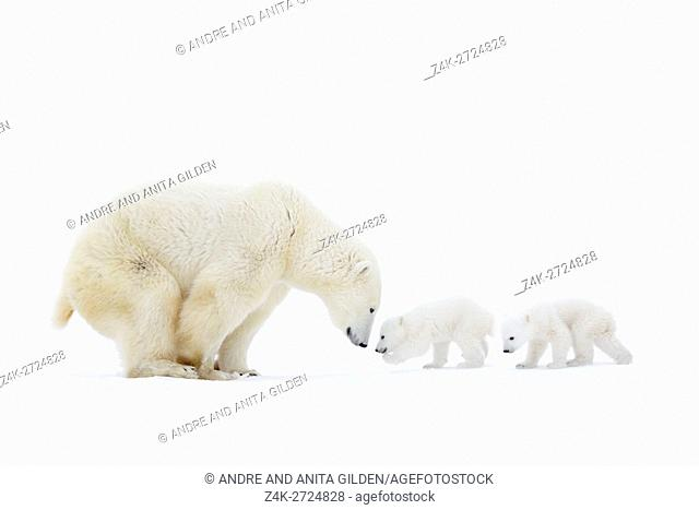 Polar bear mother (Ursus maritimus) standing on tundra with two new born cubs, Wapusk National Park, Manitoba, Canada