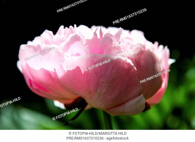 Peony blossom, Paeonia, Scheden, Dransfeld, Göttingen district, Lower Saxony, Germany, Europe / Pfingstrosenblüte, Paeonia, Scheden, Dransfeld
