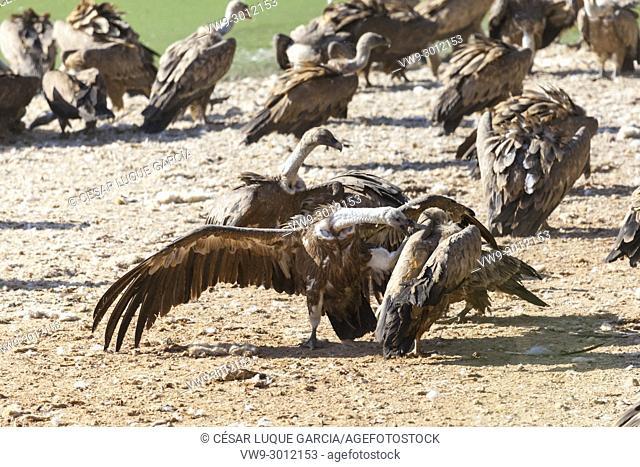 griffon vultures fighting for food. Mas de Bunyol, Valderrobres, Aragon, Spain