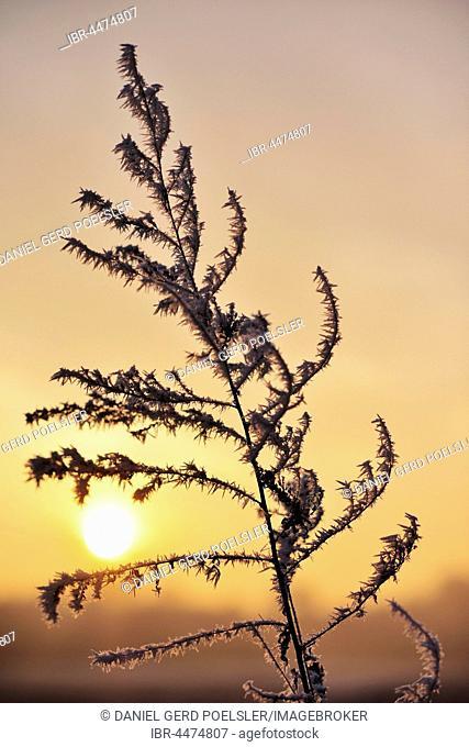 Winter sun setting behind a twig with hoarfrost, Lobau, Vienna, Austria
