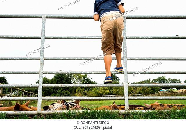 Boy climbing gate to see pigs on farm