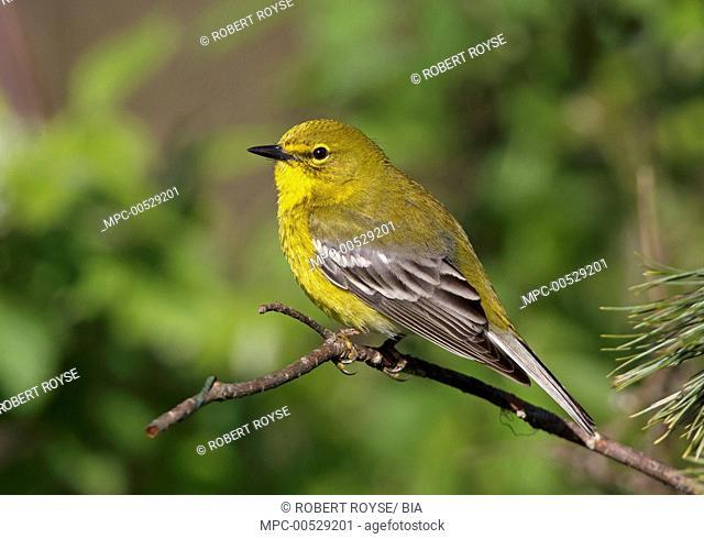 Pine Warbler (Setophaga pinus) male, Ohio