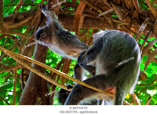 A mother and baby of SILVER BACKED LEAF MONKEY or SILVERY LUTUNG in BAKO NATIONAL PARK which is located in SARAWAK - BORNEO, MALAYSIA - USA, 10/04/2014