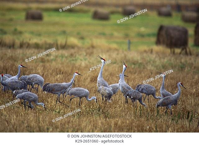 Sandhill crane (Grus canadensis) Migrating sandhill cranes feeding in hay fields on Manitoulin Is. , ON, Mindemoya, Manitoulin Island, Ontario, Canada