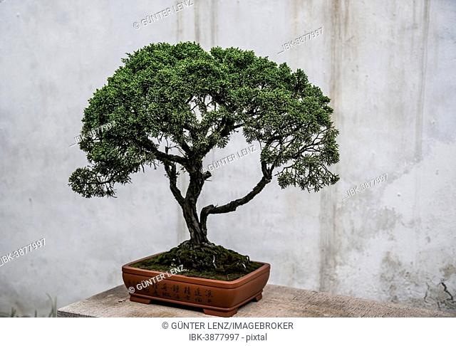 Bonsai tree in front of a concrete wall, China
