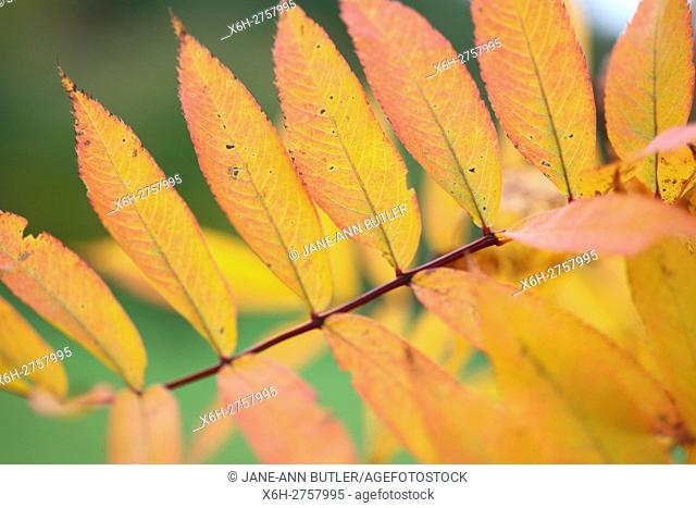 beautiful american mountain ash autumn leaves all lined up on its branch