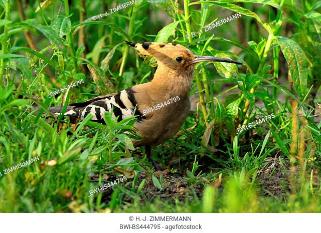 hoopoe (Upupa epops), on the ground, side view, Germany