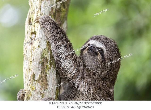 "A captive """"pet"""" brown-throated sloth, Bradypus variegatus, San Francisco Village, Loreto, Peru"