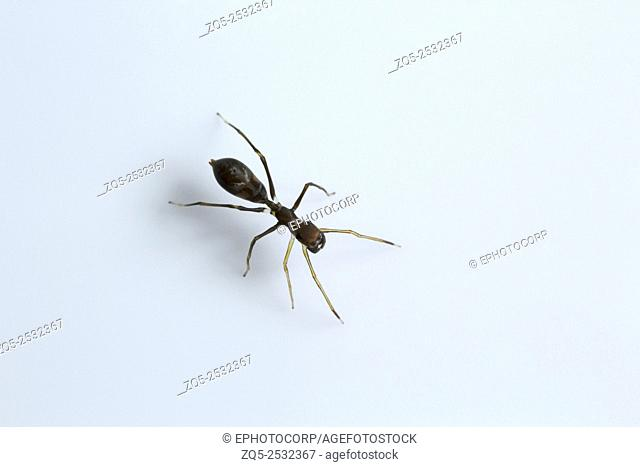 Ant mimicking spider, Myrmarachne sp, Salticidae, Bangalore , India