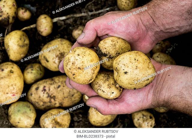 Hands of gardener holding potatoes