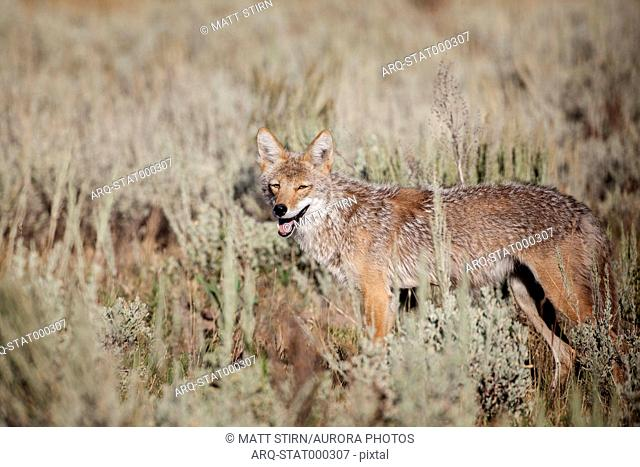 Coyote (Canis latrans) standing in meadow and looking at camera, Jackson Hole, Wyoming, USA
