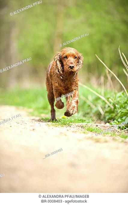 Cocker Spaniel, dog running on a path