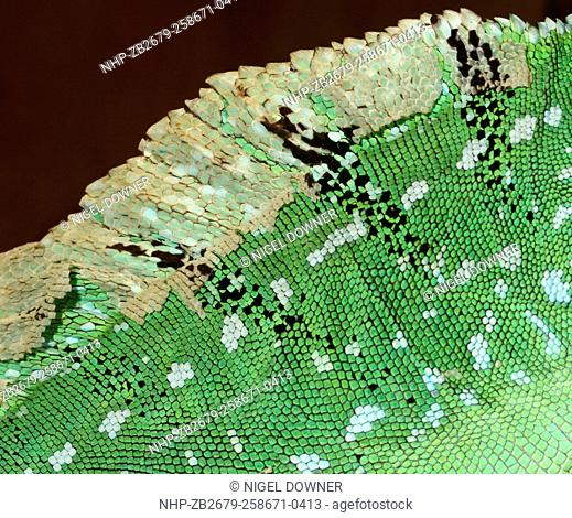 Close-up abstract of the skin pattern of an adult Green basilisk or Plumed basilisk or Jesus Christ lizard (Basiliscus plumifrons) at a reptile house in St...