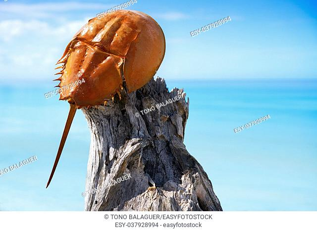 Cacerola de mar Limulus polyphemus horseshoe crab in Mexico