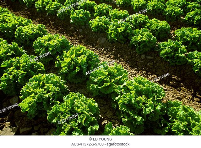 Agriculture - Rows of mid growth Green leaf lettuce backlit by the sun / Salinas Valley, California, USA
