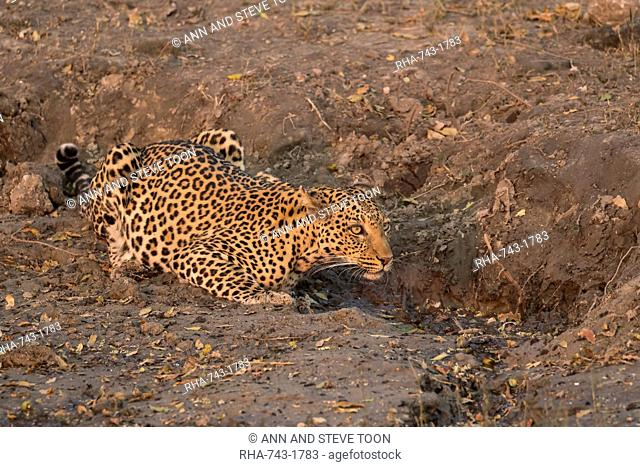 Leopard, Panthera pardus, female at water, Chobe national park, Botswana, Southern Africa