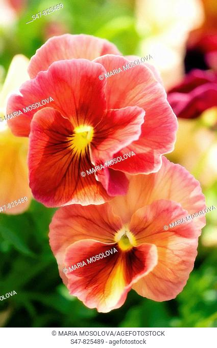 Coral Pink Pansy Flower Duet. Viola x wittrockiana