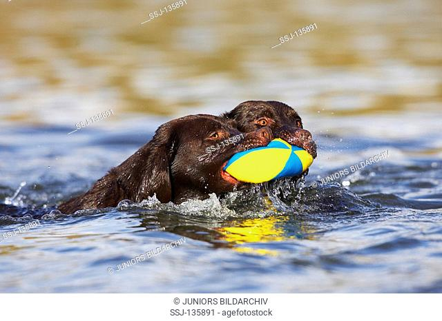 two Labrador Retriever in water - playing with ball restrictions:Tierratgeber-Bücher / animal guidebooks